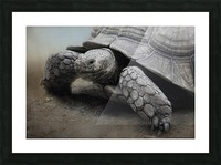 Galapagos Gentle Giant  Picture Frame print