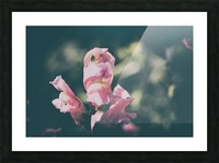 Lupinus Luteus Pink Picture Frame print