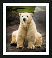 Polar Bear Cub Picture Frame print