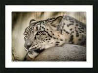 Snow Leopard Picture Frame print