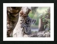 Australias Own Koala Bear Picture Frame print