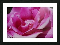 Heart Of Pink Rose Picture Frame print