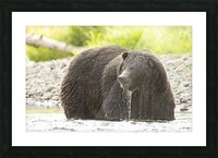 Very Wet Grizzily Picture Frame print