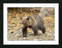Grizzly Youngster Picture Frame print