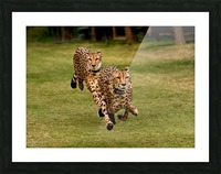 The Cheetah Brothers Picture Frame print