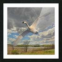 Swan on the Wing Picture Frame print