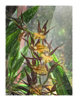 Hawaiian Orchids Color Pencil  Picture Frame print