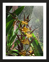 Hawaiian Orchids  Picture Frame print