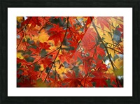 Fall Foliage Photography  Picture Frame print