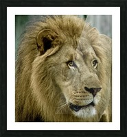 Extreme close up Lion Picture Frame print