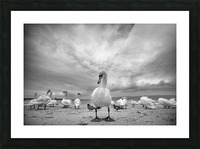 Swans on a winter beach Picture Frame print