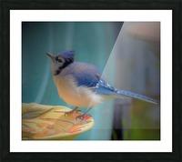 Geai bleu Picture Frame print