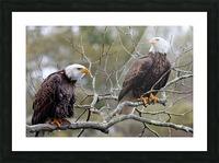 Bald Eagles Picture Frame print