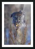Great Grey Owl - Hanging on Picture Frame print