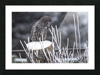 Great Grey Owl - Hunting Picture Frame print