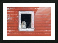 Great Horned Owl - Red Barn Picture Frame print