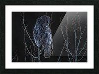 Great Grey Owl - After sunset Picture Frame print