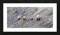 Grizzly Bear Family - Walk this way. Picture Frame print