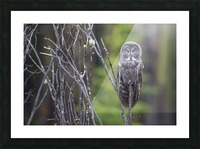 Great Grey Owl - Portait Picture Frame print