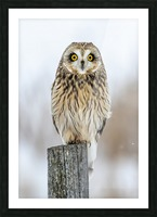 Short Eared Owl - Eyes wide open Picture Frame print
