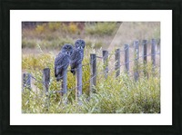 Seeing double - Great Grey Owl Picture Frame print