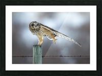 Short Eared Owl - Big Stretch Picture Frame print