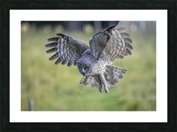 Great Grey Owl - Incoming Picture Frame print