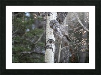 Great Grey Owl - Its Just a Snack Picture Frame print