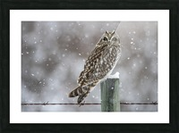 Short Eared Owl - Snow Storm Picture Frame print