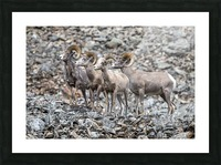 Big Horn Sheep - Family Portrait Picture Frame print