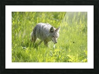 Coyote - Meadow Walk Picture Frame print