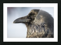 Raven - Up Close Picture Frame print