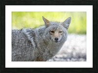 Coyote - Looking at you. Picture Frame print