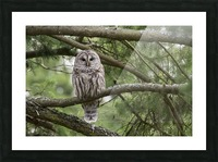 Barred Owl - Eye Contact Picture Frame print