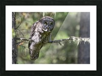 Great Grey Owl - Hunting mode Picture Frame print
