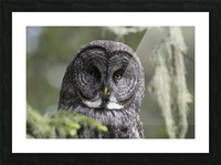Great Grey Owl - Eye to Eye Picture Frame print