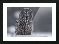 Great Grey Owl - Hunting at Sunset Picture Frame print