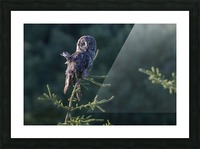 Great Grey Owl - Tree Top Hunting Picture Frame print