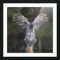 Great Grey Owl - Cleared for Take Off Picture Frame print