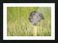 Great Grey Owl - Shaking It Out Picture Frame print