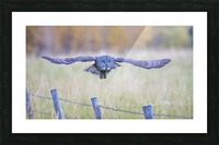 Great Grey Ow - Flat Out Picture Frame print