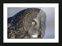 Great Grey Owl up Close Picture Frame print