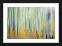 Aspen Trees in movement Picture Frame print