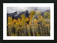 Aspens In Fall Banff National Park Picture Frame print