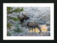 Moose On Golden Pond Picture Frame print