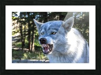 Wolf Dog Snarling Picture Frame print