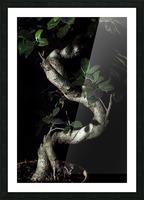 old bonsai black background Picture Frame print