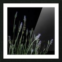 plant flower lavender black background Picture Frame print