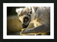 Ring-tailed lemur Picture Frame print
