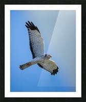 Northern Harrier in Flight Impression et Cadre photo